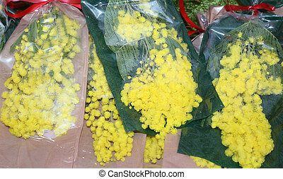 mimosa yellow for women's day on 8 March - yellow mimosa...