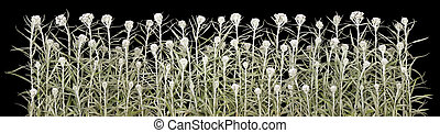 Halloween white plants line isolated - The white pale fleecy...