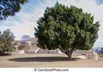Monte Alban Oaxaca Mexico huge tree next to the pyramids
