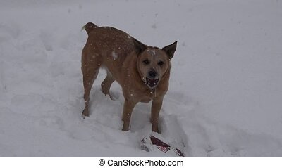 Dog Barking in Snow - Audio included of a dog barking during...
