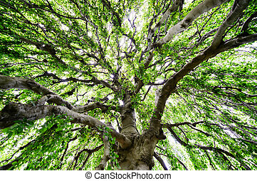 Expanse of a Large Tree whose branches are so long and wide,...