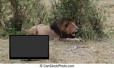 Lion resting in savannah TV wi - TV with green screen...