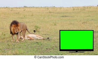 TV with green screen, lion, lioness