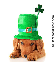 Irish Shamrock uppy - An Irish setter puppy wearing a St...