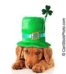 Irish Shamrock uppy - An Irish setter puppy wearing a St...