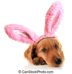 Easter bunny puppy - Irish Setter puppy wearing Easter bunny...