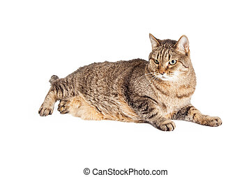 Overweight Mixed Breed Tabby Cat Laying