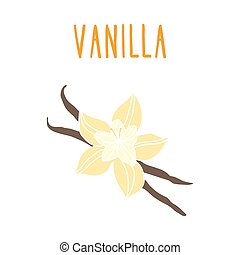 Vanilla beans. Vector EPS 10 hand drawn illustration.