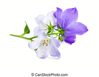 Branch bluebell flower