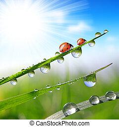 orvalho, e, ladybirds,