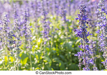 Closeup image of violet lavender flowers in the field in...