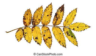 Autumn rowan leaf isolated on the w - Autumn leaf isolated...