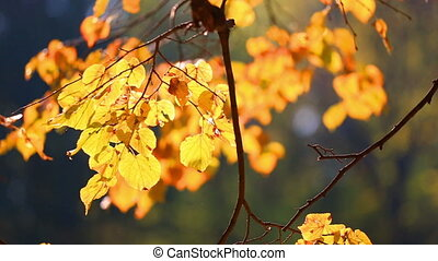 Tree branch with autumn yellow to leaves, lit with the sun
