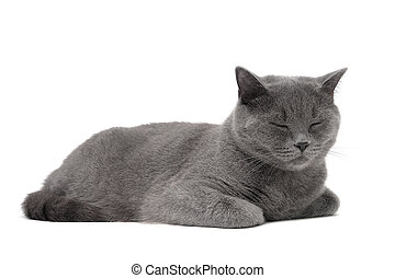 cat breed Scottish-Straight age 1 year 3 months sleeping on...