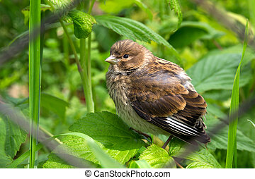 Thrush fledgling Chick of forest bird