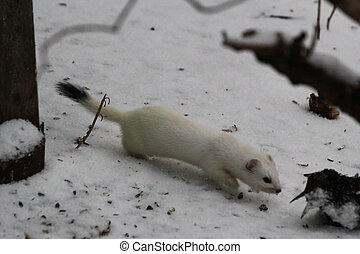 Weasel - White weasel with dead bird