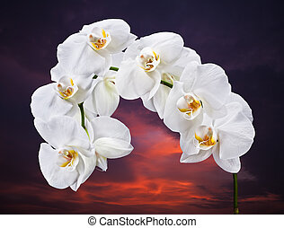 White Phalaenopsis - Phalaenopsis White orchid against the...