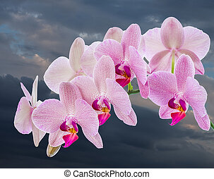 Phalaenopsis. Orchid with cloudy sky