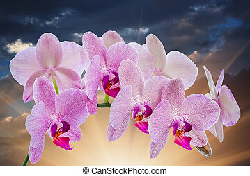 Phalaenopsis Orchid with cloudy sky and sunlight