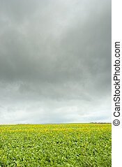 Canola field with grey clouds