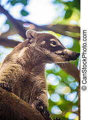 Coati Looking with caution Yucatan, Mexico jungle -...