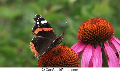 Red Admiral (Vanessa Atalanta) butterfly, damaged wings on...