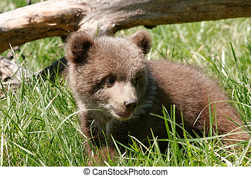 Grizzly bear cub sitting in green grass - Grizzly bear cub...