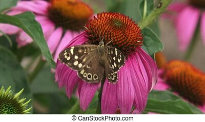 Speckled Wood pararge aegeria butterfly on echinacea...