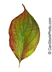 Dogwood Leaf - American Dogwood leaf isolated on a white...
