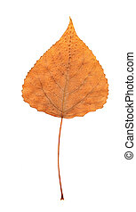 Pressed dry poplar leaf - pressed dry autumn leaf on white...