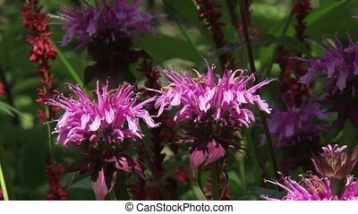 Bergamot, Monarda didyma in bloom.