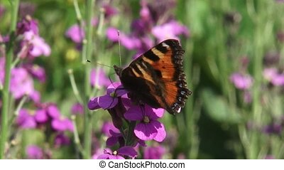 Small Tortoiseshell butterfly on wallflower Erysimum - close...
