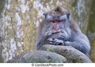Monkey in Uluwatu temple, Bali, Indonesia