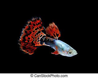 guppy, peixe, pretas, isolado, natação