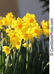 Jonquil narcissus flowers - Yellow and orange flowers in...