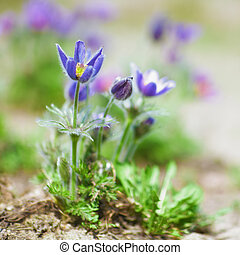 Pulsatilla flowers in natural environment at Spring time Low...