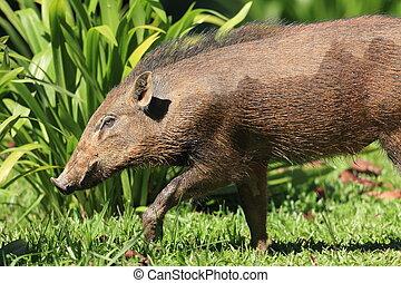 Vietnam warty pig (Sus bucculentus) in Taman Negara,...