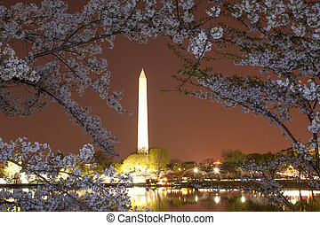 Cherry blossom in DC - Washington monument during cherry...
