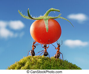 ant red harvest - three ants holding fresh tomato