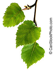 Silver Birch Leaves - Silver birch leaves, isolated on...