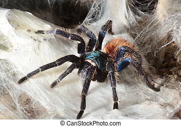 greenbottle tarantula (Chromatopelma cyaneopubescens) -...