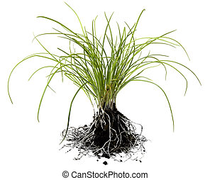 Chives - Chive seedlings, isolated on white, with loose...