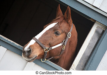 Thoroughbred horse in stable - Beautiful horse sticking her...