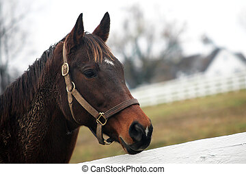 Thoroughbred horse