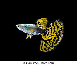 peixe, isolado, amarela, pretas,  guppy, natação