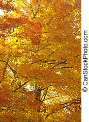 Fall Foliage - Vermont tree in October after the leaves have...
