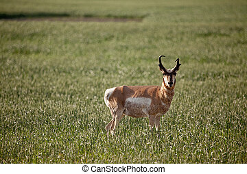 Pronghorn Antelope - Pronghorn antelope in a field in rural...