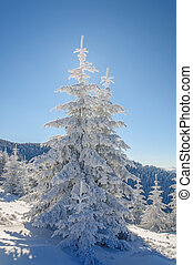 Fir tree and snow on blu sky background - Magestic fir tree...
