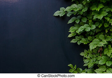 Ivy on Blue Wall - Green ivy grows against a navy blue wall...