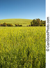 Wheat field and clear blue sky - Green wheat field with...